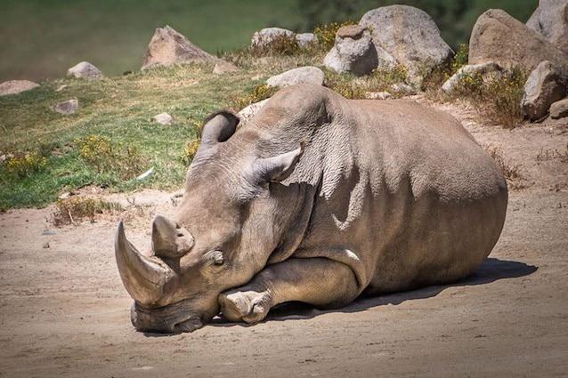 Il rinoceronte Angalifu è morto a 44 anni
