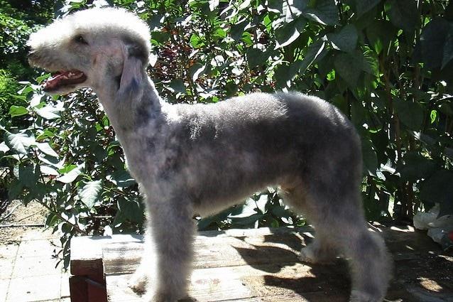 Il Bedlington Terrier è conosciuto per il pelo morbido che copre tutto il muso