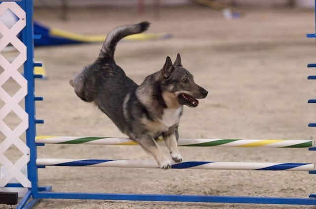 Lo Swedish Vallhund è un cane coraggioso adatto al lavoro con il gregge e da compagnia