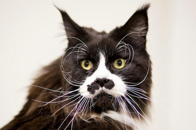99 Lives è una ricerca pubblica che ha lo scopo di analizzare il patrimonio genetico dei gatti