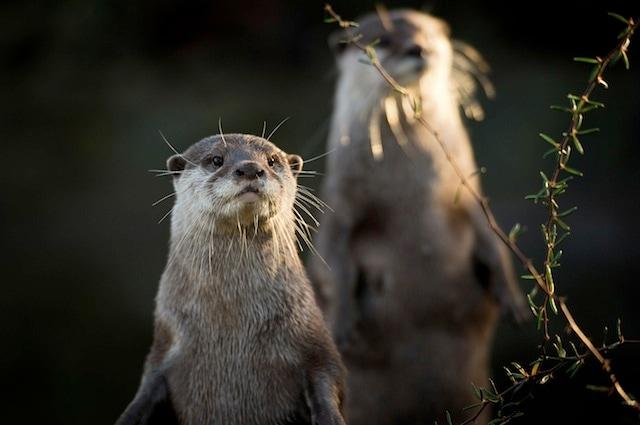 Anche il baculum delle lontre si è ridotto a causa dell'inquinamento
