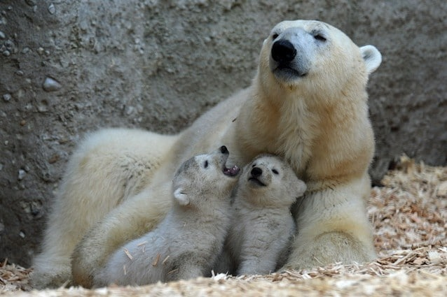 L'inquinamento ha ridotto l'osso del pene degli orsi polari