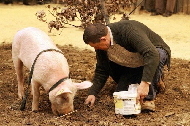 I maiali sono ottimi ricercatori di tartufo