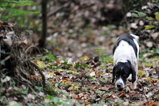I cani sono attratti dall'odore del tartufo