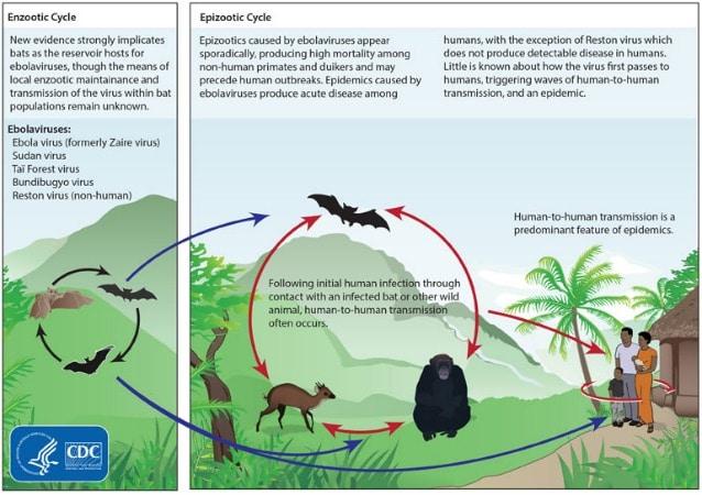 I pipistrelli sono stati individuati come ospiti ideali per l'ebola virus ma le modalità di trasmissione tra essi restano poco chiare (Centers for Disease Control and Prevention)