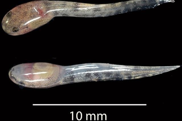 I girini della Limnonectes larvaepartus