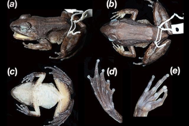 Limnonectes larvaepartus