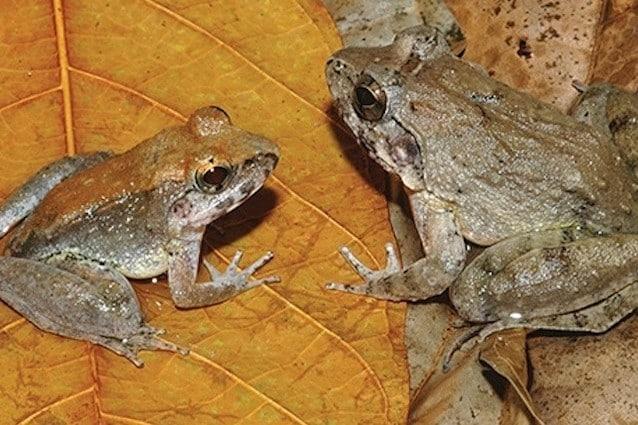 Limnonectes larvaepartus è il nome della rana che partorisce i girini e non le uova