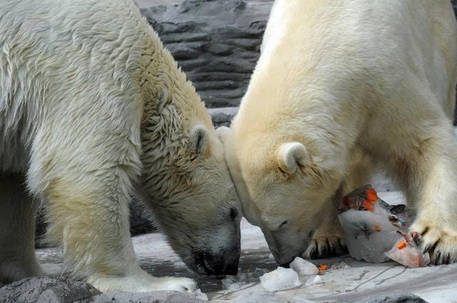 L'olfatto degli orsi polari è tra i più potenti del mondo animali