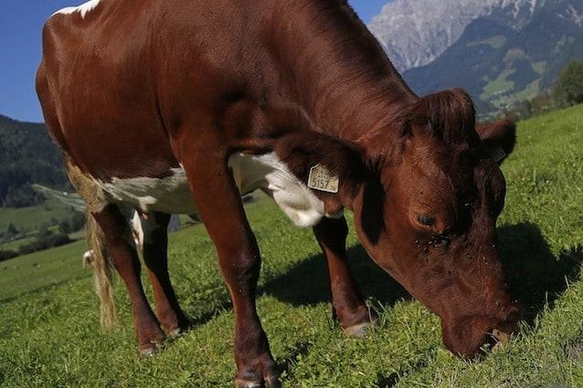 Le mucche al pascolo per assorbire anidride carbonica