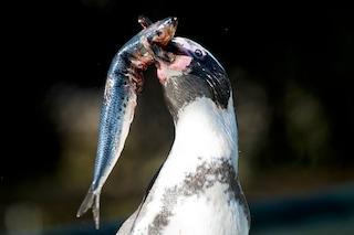 I pinguini non riconoscono il sapore del pesce