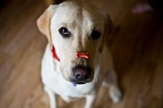 I cani sanno riconoscere i bugiardi e possono perdere la fiducia nel prossimo