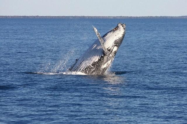 La balena è conosciuta per il suo canto ma nessuno l'ha mai vista