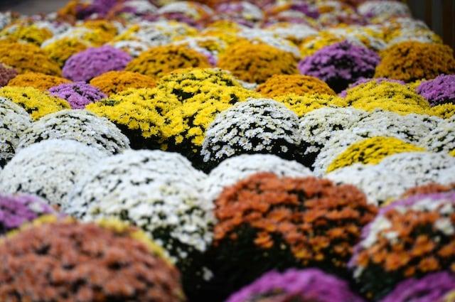 I molti colori dei crisantemi