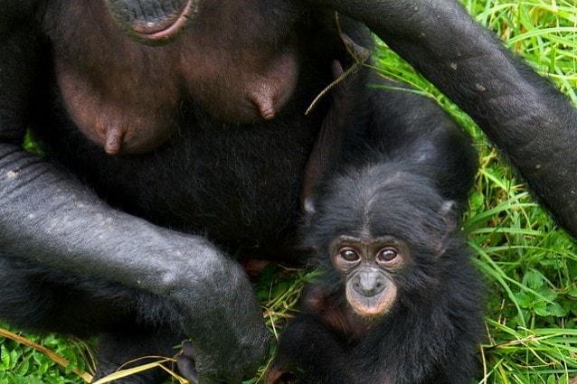 Un piccolo di bonobo (Pan paniscus) con la madre