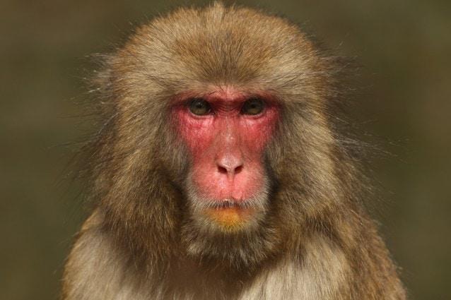 Un esemplare di macaco in Giappone (Foto Getty Images).