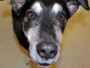 Frankie il cane che sa scovare il cancro alla tiroide
