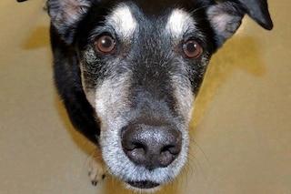 Il cane capace di diagnosticare il cancro alla tiroide grazie all'olfatto