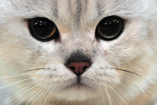 Il gatto preferisce la vista