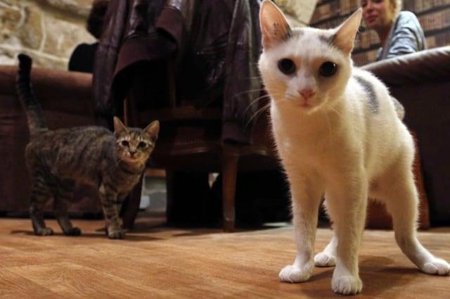 La preferenza per la vista potrebbe essere una conseguenza della domesticazione del gatto