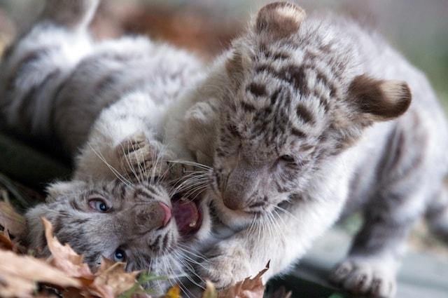 La tigre siberiana è a rischio estinzione
