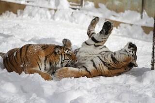 Cuccioli di tigre siberiana fotografati a sorpresa con mamma e papà
