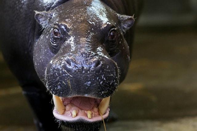 Anche mucche e ippopotami si nutrono di carne