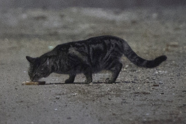 L'olfatto non è il senso dominante nei gatti