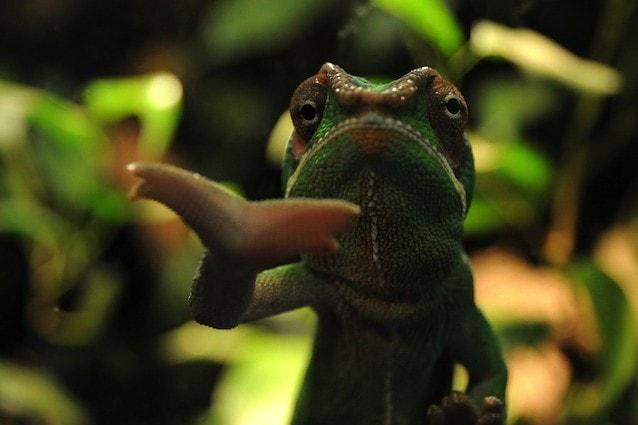 I camaleonti sono in grado di cambiare colore a seconda delle loro emozioni