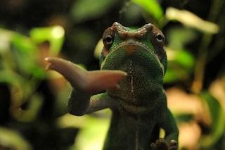 Ecco come i camaleonti riescono a cambiare colore