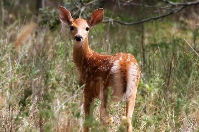 Il cervo dalla coda bianca si nutre anche di pulcini
