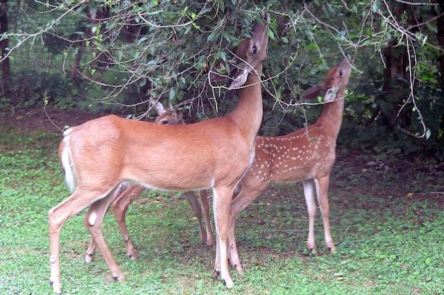 I cervi dalla coda bianca non sono gli unici erbivori a nutrirsi sporadicamente di animali