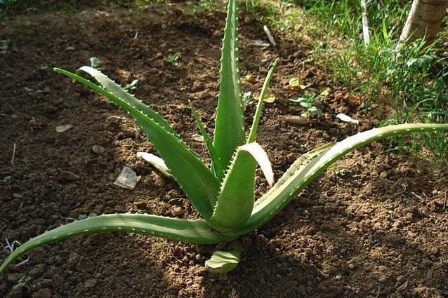 L'Aloe vera è antiinfiammatoria
