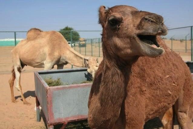 Il primo cammello clonato aspetta un figlio