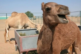 Injaz, il primo cammello clonato, ha 6 anni ed è incinta