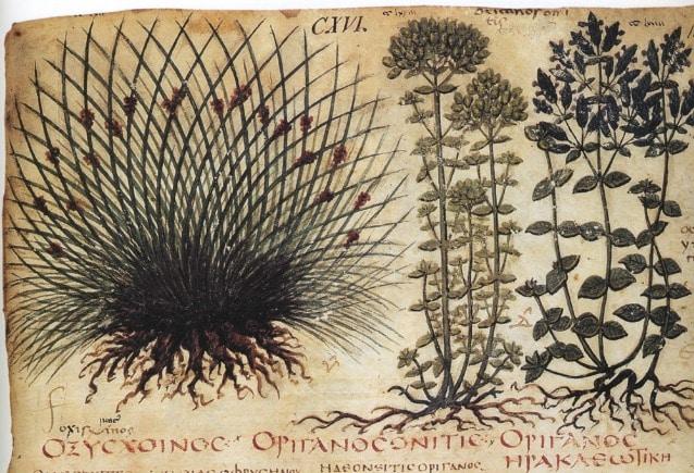 Le proprietà delle erbe usate in medicina erano illustrate dagli erbari. (In questa immagine, un particolare del Dioscoride in un manoscritto del VII secolo custodito presso la Biblioteca Nazionale di Napoli.)