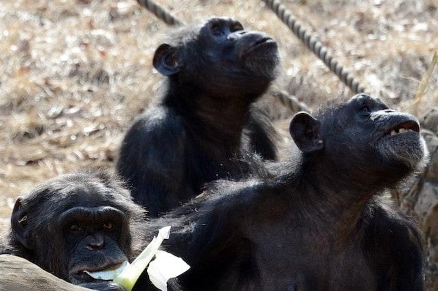 Gli scimpanzé attraversano la strada