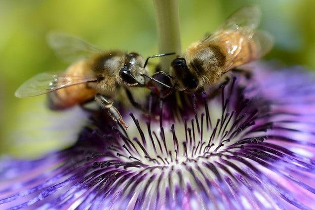Le api preferiscono il nettare con i pesticidi