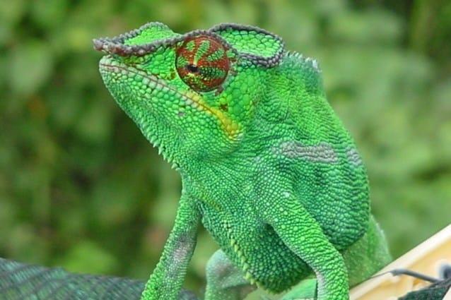 Un esemplare maschio di Furcifer pardalis