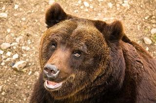 Cucciolo di orso da solo nel Parco Nazionale d'Abruzzo, si cerca la madre