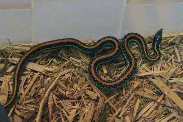 L'accoppiamento dei serpenti richiede molte energie