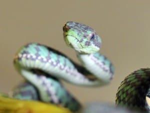 Gli antenati dei serpenti avevano i piedi