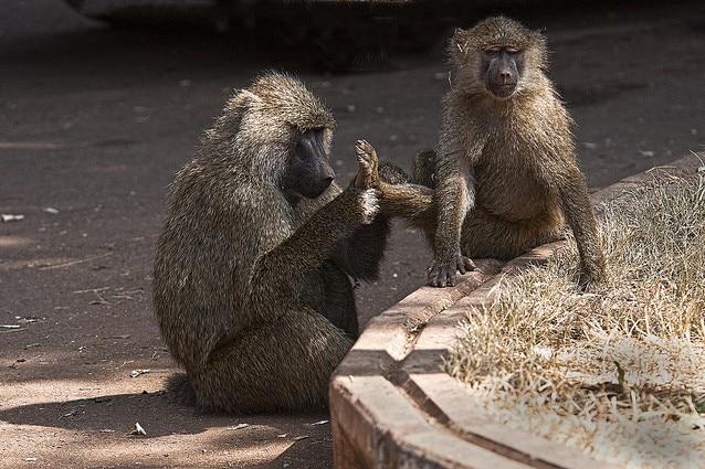 I babbuini verdi sanno essere molto democratici
