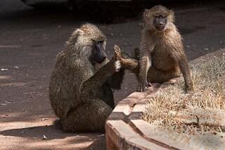 Il lato democratico dei babbuini in viaggio
