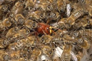 Gli insetti che vivono in gruppo hanno il cervello meno sviluppato