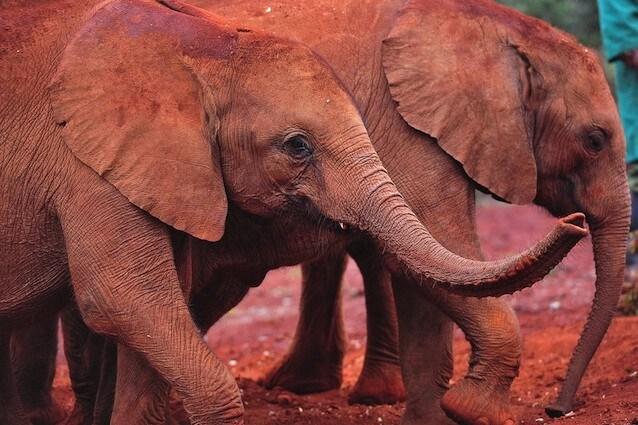 Si allontanano dall'estinzione gli elefanti rossi africani del Kenya