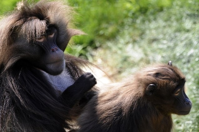 I babbuini Gelada convivono con i lupi etiopi