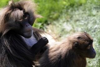 Ecco come i babbuini Gelada hanno domesticato i lupi Etiopi