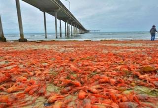 Migliaia di granchi mutanti invadono le spiagge californiane