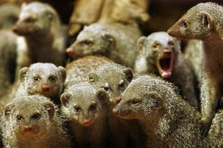 Le manguste striate evitano di accoppiarsi con i parenti